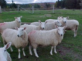 Brook Ridge Farm: About Border Leicesters