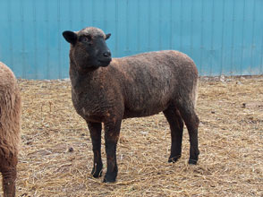 Brookridge Farm: Replacement Ewes