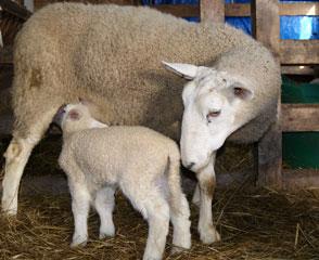 Brookridge Farm: Replacement Ewes
