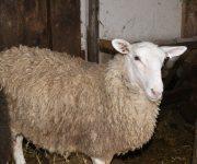Brook Ridge Farm - 2016 Sheep