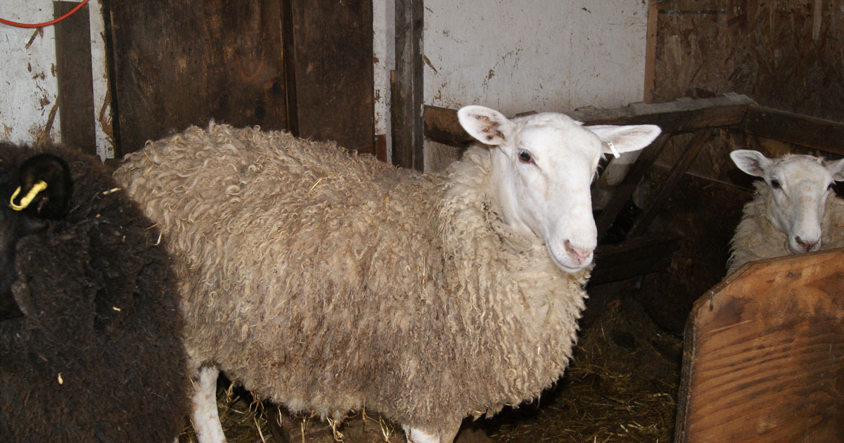 Brook Ridge Farm - 2016 Sheep