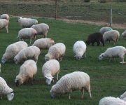 Brook Ride Farm - Sheep