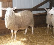 Brook Ridge Farm - Sheep