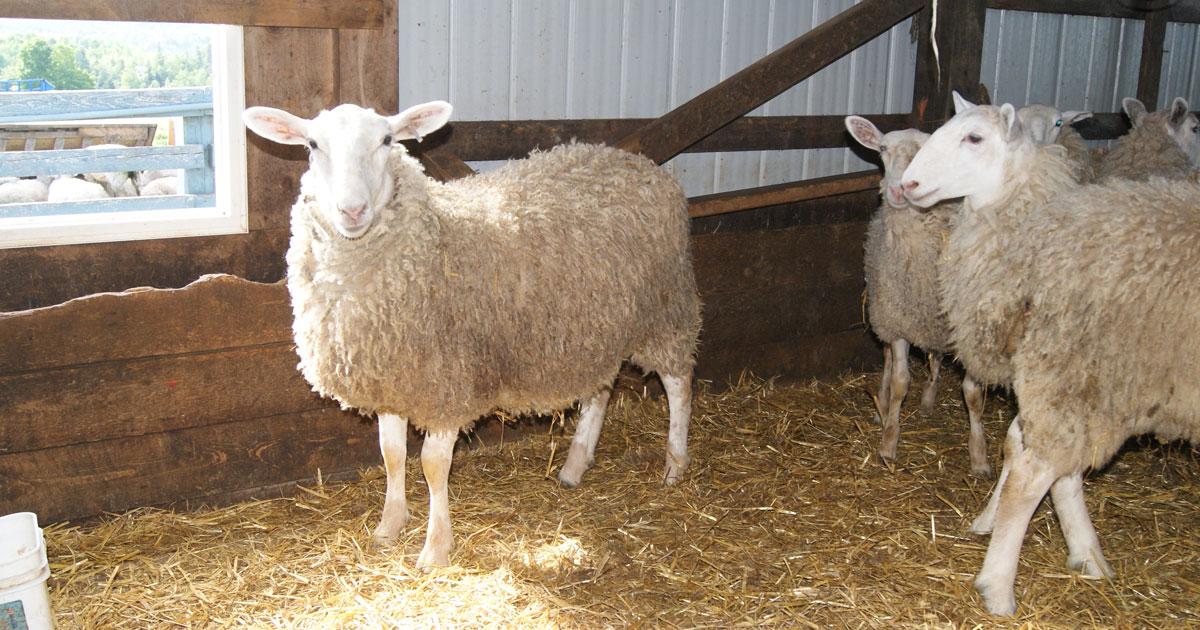 Brook Ridge Farm - Sheep